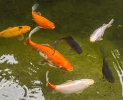Pond Fish Foods Treatments and Accessories